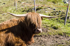 Scottish cow Royalty Free Stock Photos