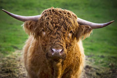 Scottish cow Stock Image