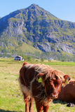 Scottish cow's calf   in Lofoten Stock Photos