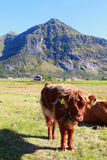 Scottish cow's calf   under Lofoten's sun Royalty Free Stock Photography