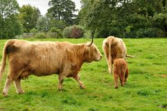 Scottish cow 3. Typical scottish brown cows family Royalty Free Stock Images