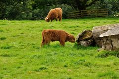 Scottish cow 2. Typical scottish young brown cow Royalty Free Stock Photo