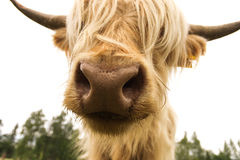 Scottish cow  on white Stock Photography