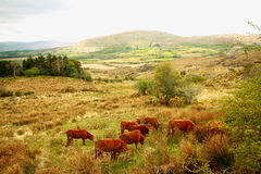 Scottish cows. In the fields Stock Photo