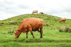 Scottish cows Royalty Free Stock Photography