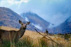 Scottish deer royalty free stock images