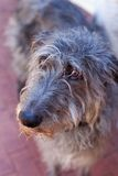 Scottish Deerhound Royalty Free Stock Image