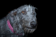 Scottish Deerhound Stock Image