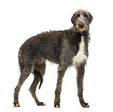 Scottish Deerhound looking at the camera stock photo