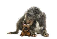 Scottish Deerhound lying and licking a Petit Brabancon Stock Photos