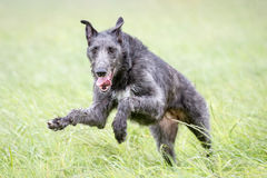 Scottish Deerhound. Playing in a Meadow Royalty Free Stock Image
