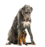Scottish Deerhound sitting over a Petit Brabancon Royalty Free Stock Photography