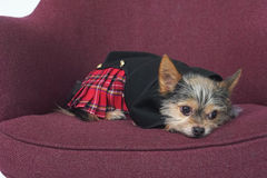 Scottish Dog. Yorkie Chihuahua dressed in Scottish kilt in thought Stock Image