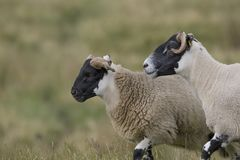Scottish black faced sheep grazing with background, portraits Stock Image