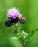 Scottish emblem. The thistle - the national emblem of Scotland Royalty Free Stock Image