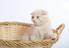 Scottish-Falten-Kätzchen Stockbild