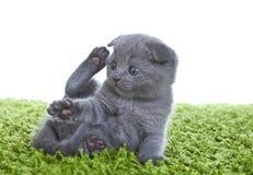 Scottish-Falten-Kätzchen Stockbilder