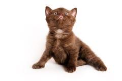 Scottish-Falten-Kätzchen Lizenzfreie Stockbilder