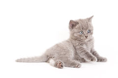 Scottish-Falten-Kätzchen Lizenzfreies Stockfoto