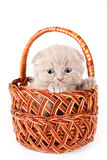 Scottish-Falten-Kätzchen Stockfotos