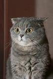 Scottish-Falten-Katze mit Leuchtorangeaugen Lizenzfreie Stockfotos