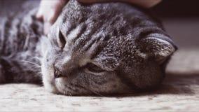 Scottish-Faltenkatze ist krank stock video footage