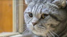 Scottish-Faltenkatze ist krank stock video