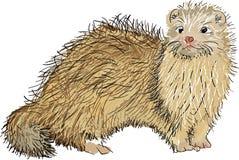 Free Scottish Ferret Stock Image - 49629761