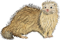 Scottish Ferret Stock Image