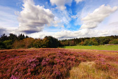 Scottish fields of heather Stock Image