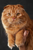 Scottish Fold Stock Images