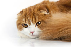 Scottish fold Stock Photo