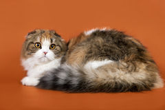 Scottish fold Royalty Free Stock Image
