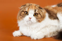 Scottish fold Stock Photography