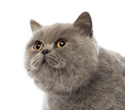 Scottish Fold, 3 years old Royalty Free Stock Photo