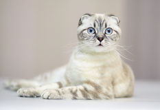 Scottish fold. Cat with blue eyes. A lying cat. Cat of breed the Scottish fold Royalty Free Stock Photo