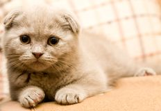 Scottish fold. Lie on pillow Royalty Free Stock Photos