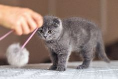 Scottish fold baby cat playing with a pom-pom toy. On table. Place for text. Chisinau, Moldova stock photo