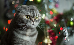 Scottish Fold on background of Christmas tree. Royalty Free Stock Photo