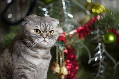 Scottish Fold on background of Christmas tree. Stock Images
