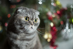 Scottish Fold on background of Christmas tree. Stock Photography