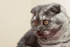 Scottish Fold blue-gray color  . Royalty Free Stock Photo