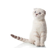 Scottish Fold breed Stock Images