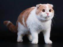 Scottish fold breed cat on black Royalty Free Stock Image