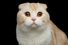 Scottish fold breed Cat on isolated black background. Portrait of Creame Scottish fold breed Cat with Curious face Stare in Camera on isolated black background Stock Photo