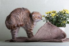 Scottish straight cat is lying. Scottish fold breed cat sits next to a flower pot with a yellow chrysanthemum Stock Image