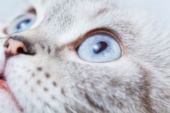 Scottish Fold breed. Closeup muzzle cat breed Scottish Fold Royalty Free Stock Photos