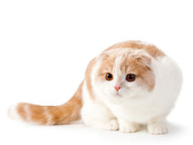 Scottish fold breed young cat Royalty Free Stock Image