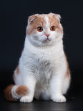Scottish Fold Breed Young Cat Stock Images
