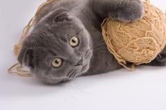 Free Scottish Fold Cat Stock Photo - 10701950